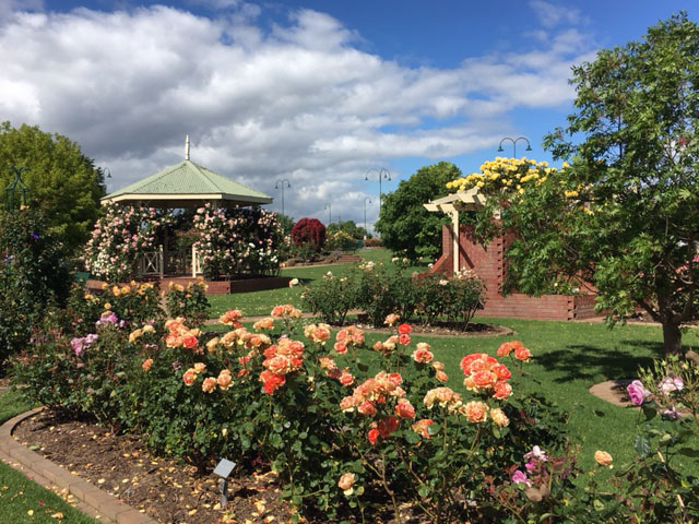 Our beautiful rose garden in Morwell
